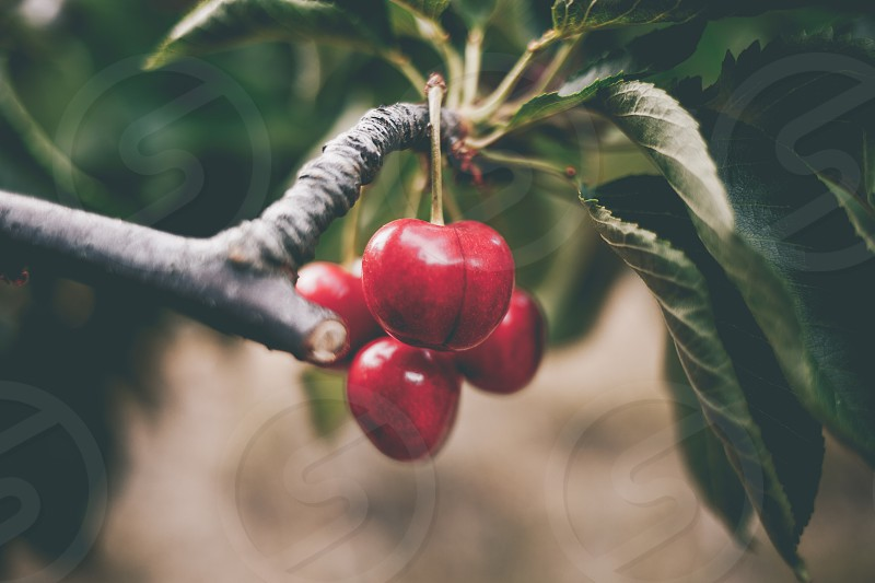 Red big cherries hanging from the tree photo
