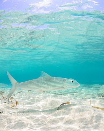 A bonefish in crystal clear shallow water. photo