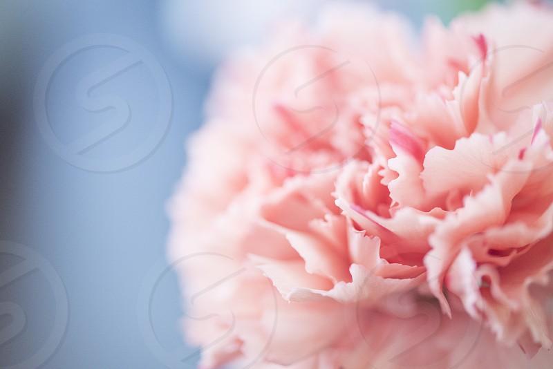 pink carnation during daytime photo
