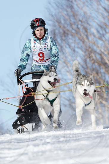PETROPAVLOVSK-KAMCHATSKY KAMCHATKA PENINSULA RUSSIA - FEBRUARY 23 2017: Kamchatka Kids Competitions Sled Dog Race Dyulin (Beringia). Runs dog sled young Kamchatka musher Elizabeth Grishina. photo