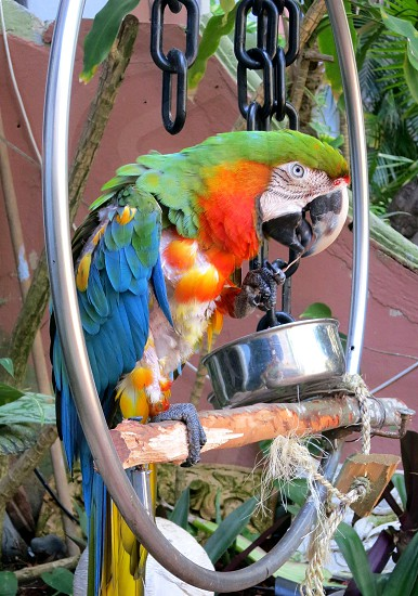 Parrot framed within circular perch photo