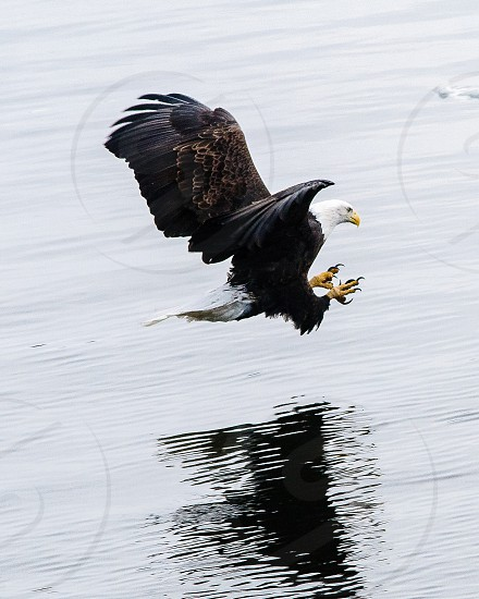 American Bald Eagle fishing along the Iowa banks of the Mississippi River. photo