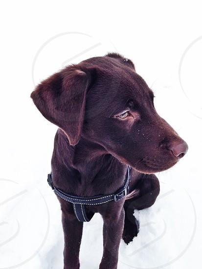 Dog puppy snow brown Labrador  photo
