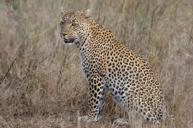Leopard rest in the Serengeti - Africa photo