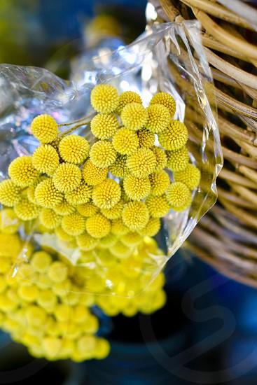 Circles yellow flowers closeup nature closeup  flower closeup mimosa particles photo