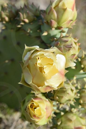 A desert cactus flower warmly glows yellow  photo