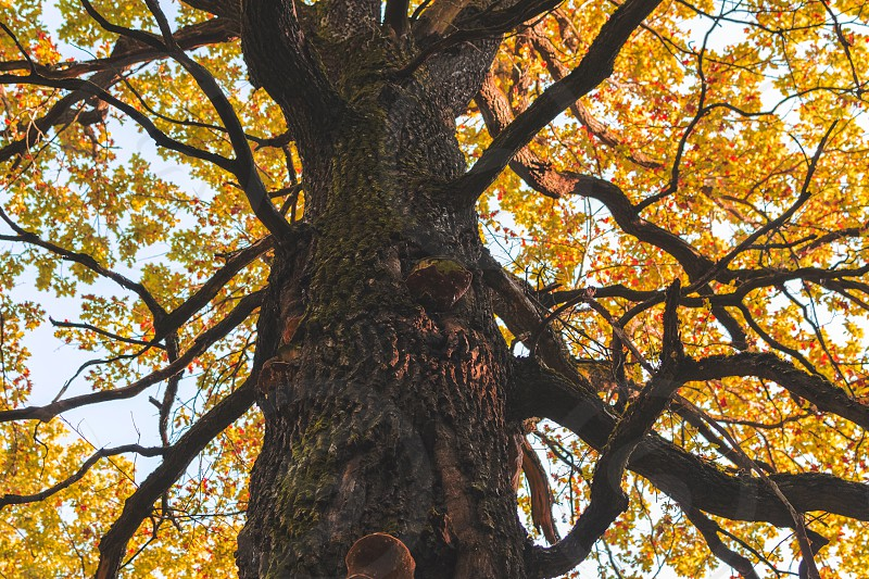 Huge tree with branches and yellow leaves low angle view photo