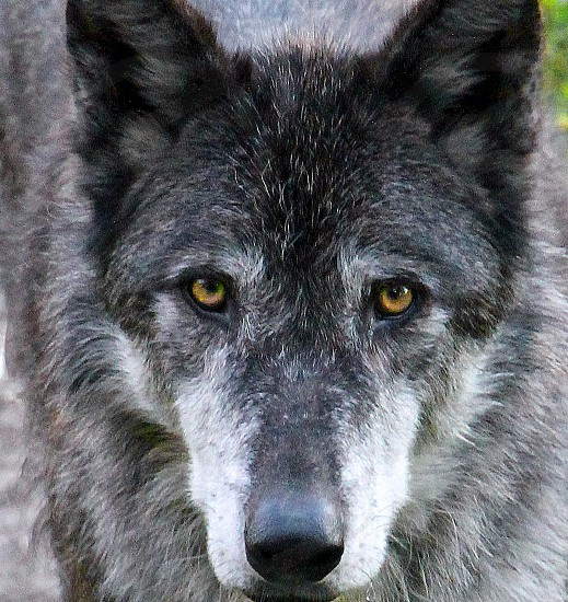 Close Up Portrait Of A Gray Wolf With Yellow Eyes In A Wolf Sanctuary In Bozeman Mt By Robin Keefe Photo Stock Snapwire
