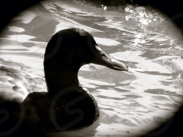Duck in a pond photo
