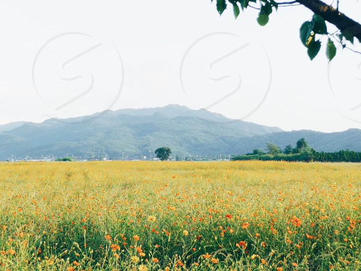 Flower field in front of mountains in Korea photo