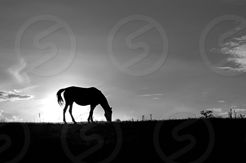 Silhouette of horse grazing on the hill at sunset photo