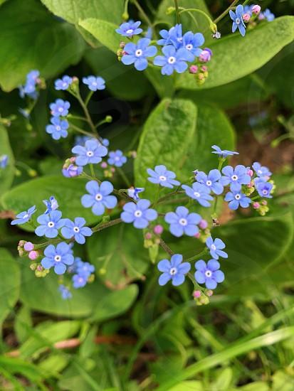 Bleu flowers spring photo