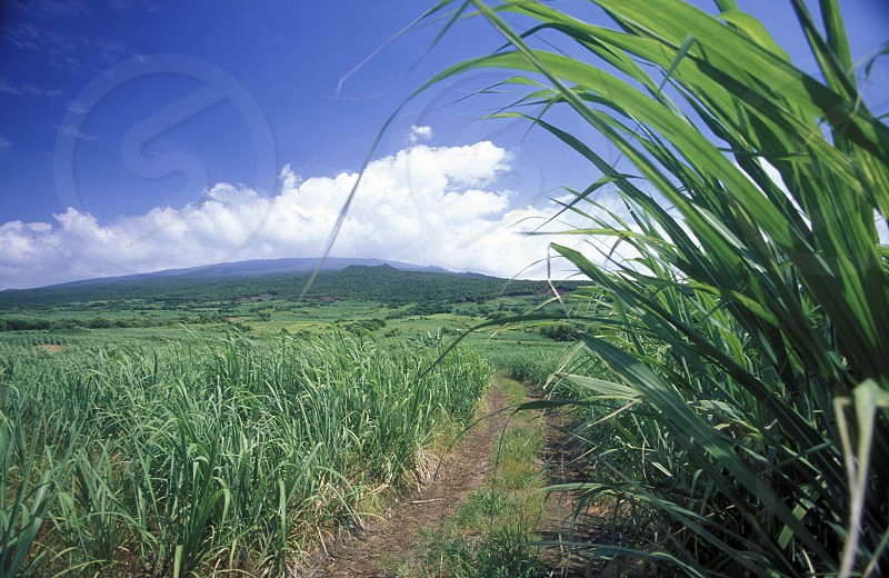 A cugar field on the Island of La Reunion in the Indian Ocean in Africa. photo