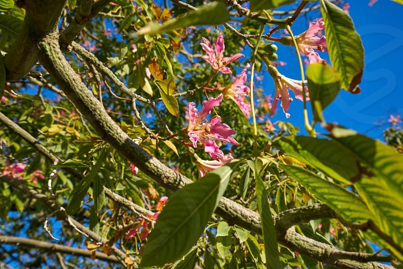 Valencia ceiba tree flowers at Turia park gardens view in Spain photo