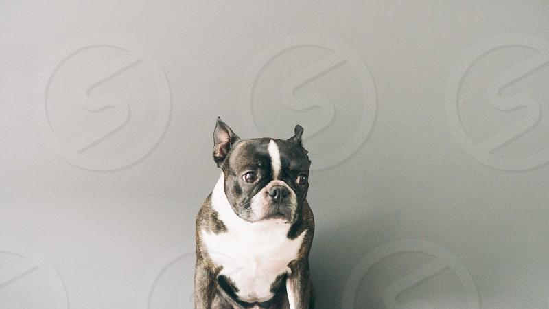 Hugo the Boston Terrier  photo