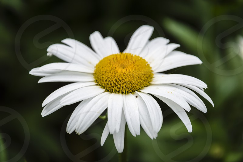 Daisy flower on a green blurred background photo