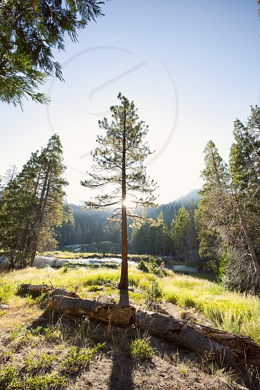 Pine Tree Backlit in the Sierra Nevada near Mammoth Lakes CA photo