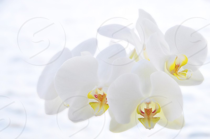 white orchid peace of mind photo