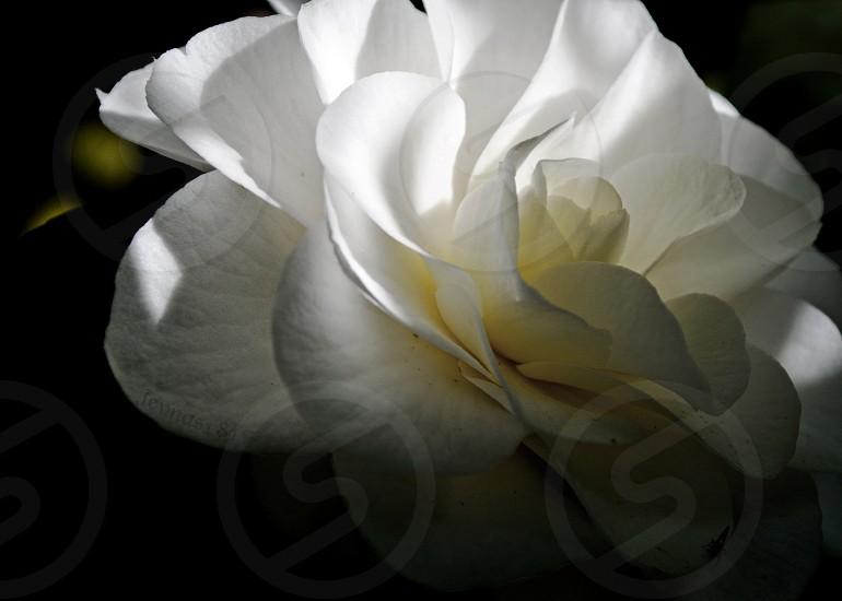 Color camellia photo