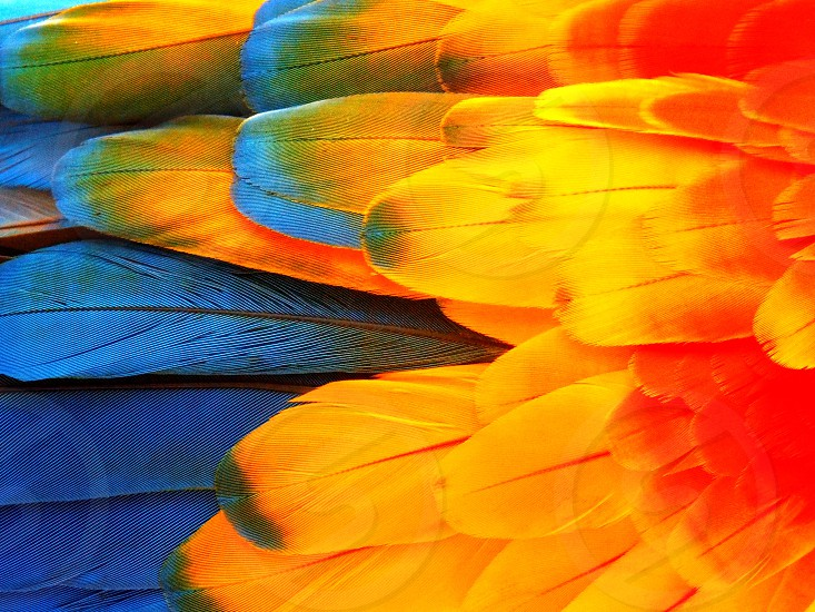 Vibrant parrot feathers close-up yellow blue and red. photo
