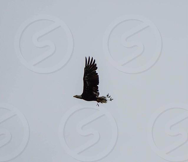 Freedom; eagle; bald eagle; flying; soaring; wanderlust; travel; vacation; Alaska  photo