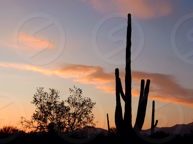 Sunset in the Sonoran desert. A saguaro cactus is silhouetted against the sky photo