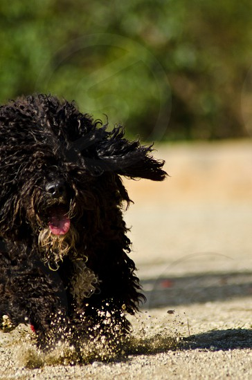 black curly haired dog running photo