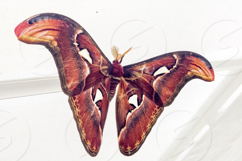 atlas moth perched on white surface photo
