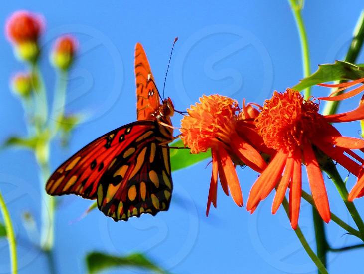 butterfly Gulf Fritillary orange flowers nature insect photo