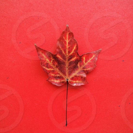 Red Autum leaf blending in with a red background. photo