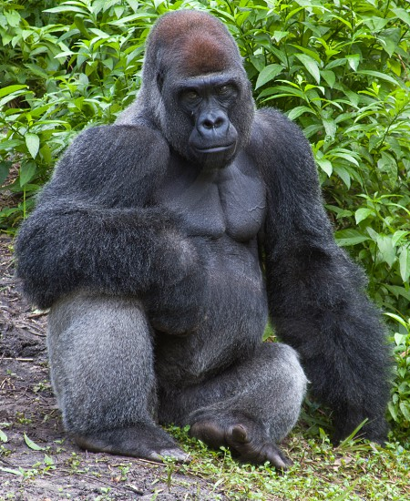 Ape posing in Animal Kingdom 2 photo
