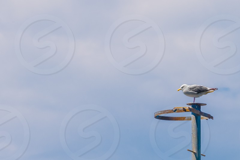 Seagull perched upon a metal antennae. photo