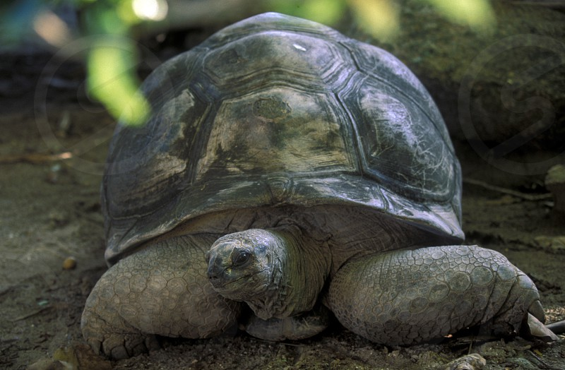 big turtles on the Island La Digue of the seychelles islands in the indian ocean photo