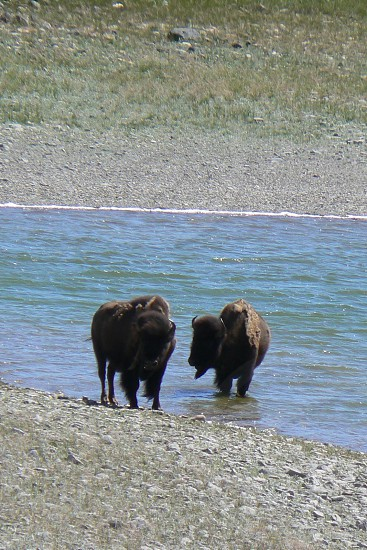 Two Bison on river bank photo