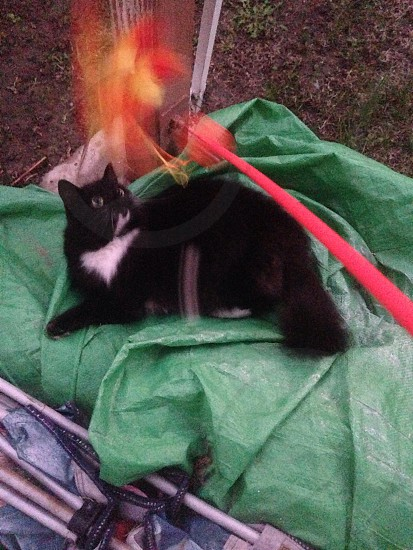 black and white long haired cat lying on a green tarp outside and staring at a feather toy photo