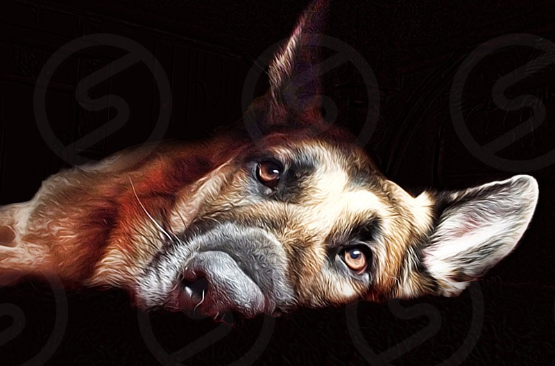 black and tan German Shepherd lying photo