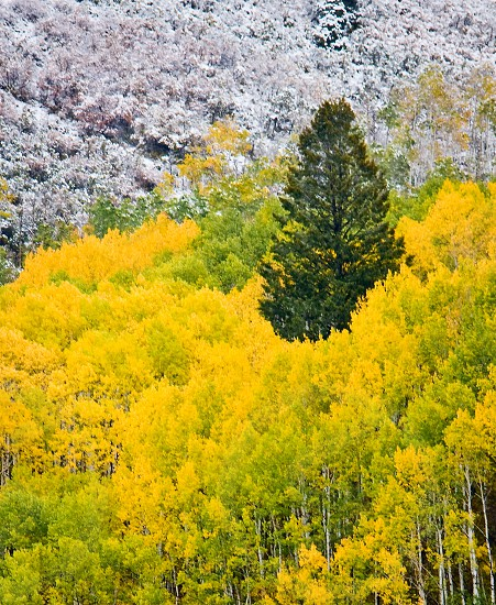 Lone spruce tree rises above colorful aspen trees after early season fall snow storm. photo