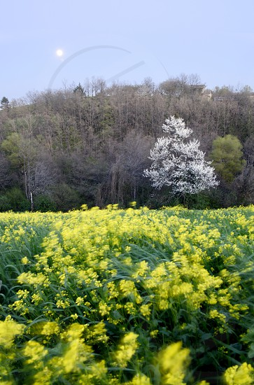 Spring is coming. Full moon and wind over fields of flowers. photo