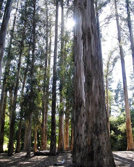 Berkley California Redwood Tree Forest photo
