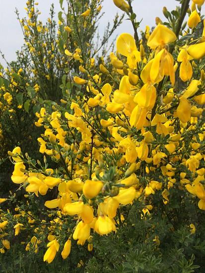 Yellow flower field summer blossom photo