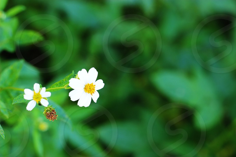 Daisies surrounded by green. photo