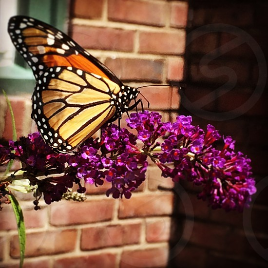 Monarch dots photo