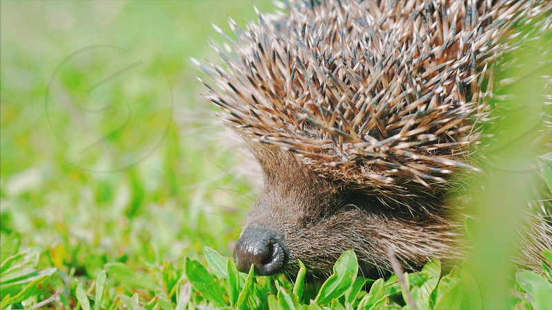 Sweet hedgehog in nature background. Natural light. Close up view. photo