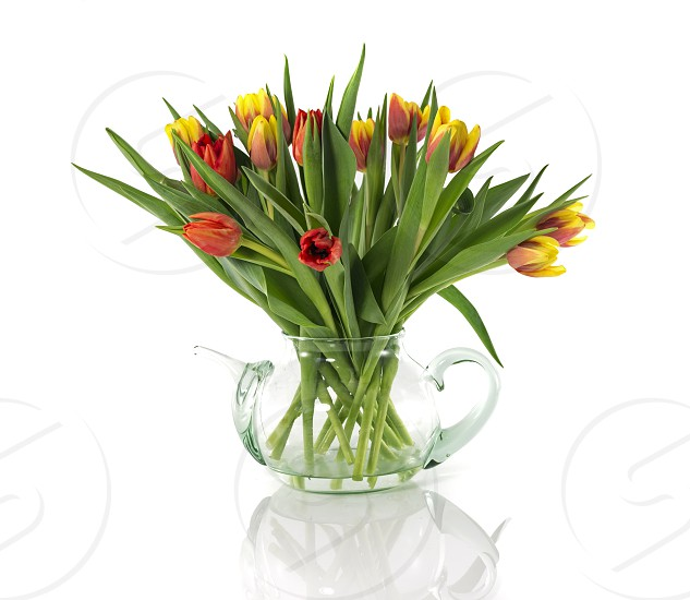 red and yellow tulips isolated on white  photo