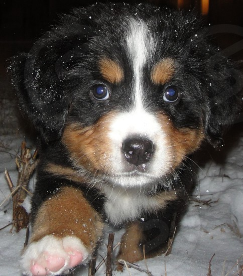 Bernese puppy curious about snow  photo
