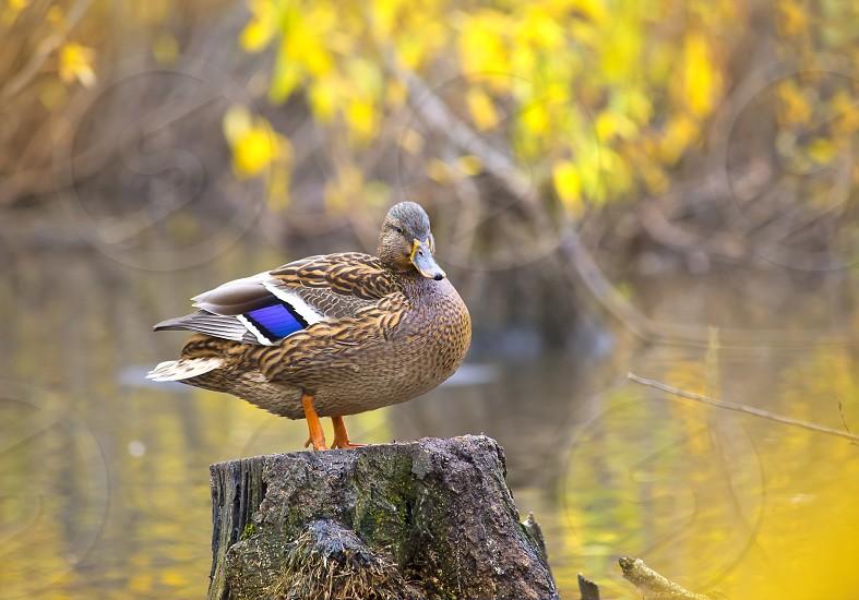 Mallard duck standing on a stump in pond photo