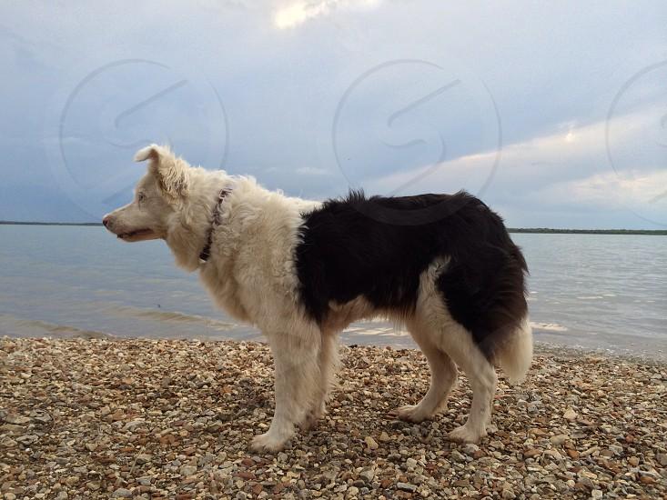black and white long haired large dog photo