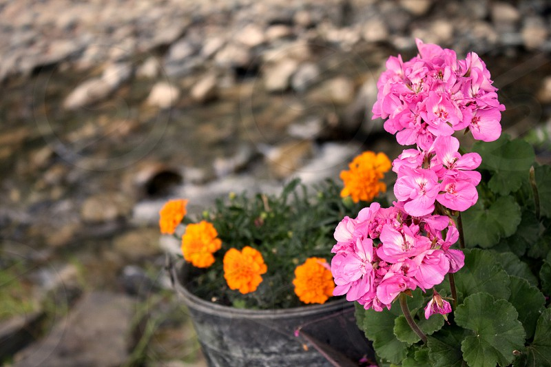 pink flower orange river kamloops bc photo