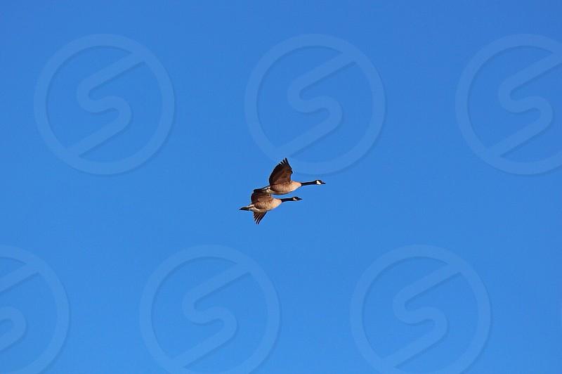 Geese in flight photo