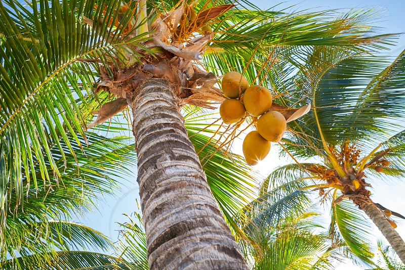 Tropical coconut palm trees in Caribbean Mexico photo